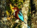 White-throated Kingfisher (3166359596).jpg