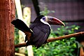 White-throated Toucan (9215110663).jpg