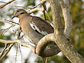 White-winged Dove (16533880476).jpg