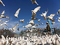 White Doves at the Blue Mosque (5778806750).jpg