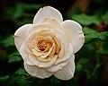 White Rose (5582893703).jpg