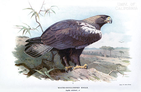 White Shouldered Eagle ornithologyofstr00irbyrich 0204.jpg