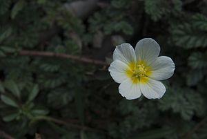 Thrissur Kole Wetlands - A white flower in the Kole wetland of Thrissur, Kerala