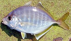 Whitefin trevally.jpg