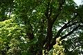 Wiener Naturdenkmal 501 - Spitzahorn (Döbling) h.JPG