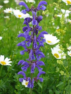 Wiesensalbei (Salvia pratensis) 02