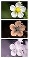 Wild Strawberry Fragaria vesca spectral comparison Vis UV IR.jpg