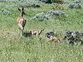 Wildlife near Ashland, Oregon (13999554640).jpg