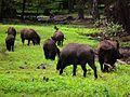 Wildschweinrotte auf dem Rückzug Juni 2012 Wildpark Alte Fasanerie.JPG