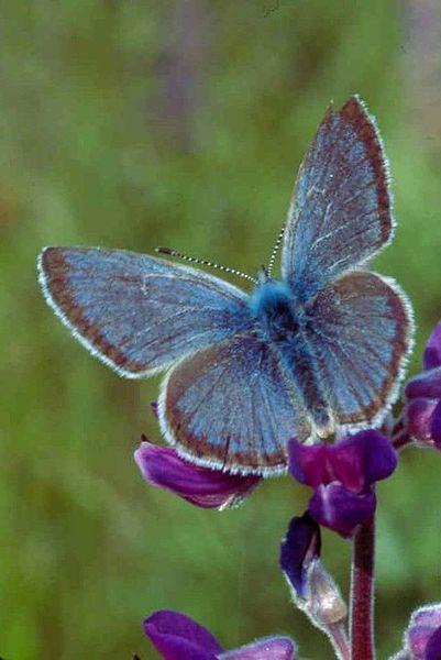 File:Willamette valley fenders blue butterfly icaricia icarioides fenderi.jpg
