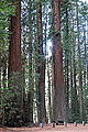 Williams Grove - Humboldt Redwoods State Park - DSC02396.JPG