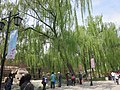 Willows, Old Summer Palace.jpg
