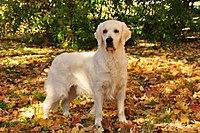 Golden Retriever - Dog Information