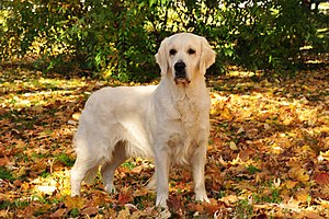 Golden Retriever - The Golden Retriever was first bred in Scotland. British-type Golden Retrievers are more muscular than North American varieties, with thick coats and heavier weights.