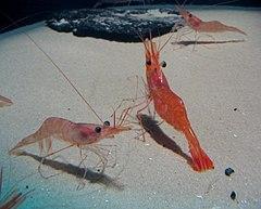scary shrimp