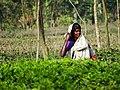Woman in Finlay Tea Plantation - Outside Srimangal - Sylhet Division - Bangladesh (12903714215).jpg
