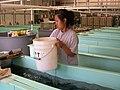 Working in a Fishery (5167850522).jpg