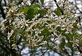Wrightia tinctoria flowers in Keesaraguda, AP W IMG 9109.jpg