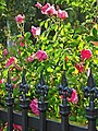Wrought Iron and Roses 4-27-15a (17312340231).jpg