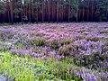 Wrzosy kwitną obficie - panoramio.jpg