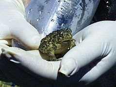 Wyoming Toad USFWS Inspected.jpg