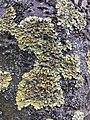 Xanthoria parietina 99965290.jpg