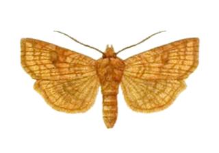 <i>Xestia</i> genus of insects