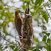 Xiphorhyinchus guttatus - Buff-throated Woodcreeper.JPG