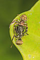 Xysticus sp. feeding on an ant..jpg