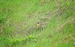 YELLOW WAGTAIL (MOTACILLA FLAVA) BIRDS IN WET GRASS.jpg
