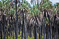 Yatay Palms, El Palmar, Entre Rios, Argentina, 1 Jan. 2011 - Flickr - PhillipC (1).jpg