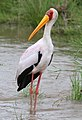 Yellow-billed Stork, Mycteria ibis at Kruger Park (13953819141).jpg