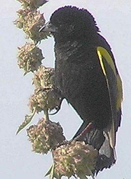Yellow Bishop2.jpg