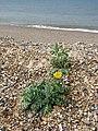 Yellow Horned Poppy (Glaucium flavum) - geograph.org.uk - 825913.jpg