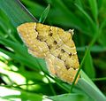 Yellow Shell. Camptogramma bilineata (sub sp. atlantica^) - Flickr - gailhampshire.jpg