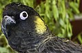 Yellow Tailed black cockatoo-1 (11371602745).jpg