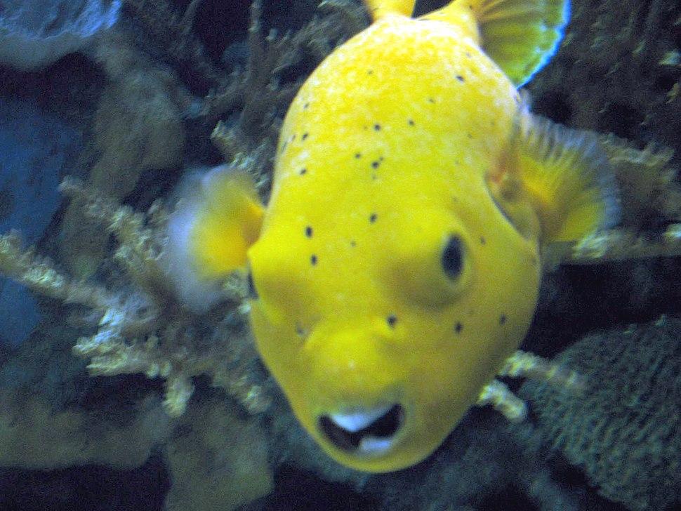 Yellow fish in the aquarium