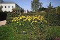 Yellow flower in botanical garden in Liberec, Liberec District.jpg