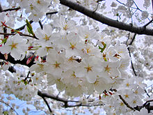 Image result for The Yoshino cherry tree
