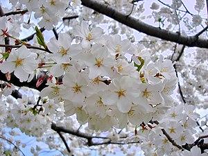 Prunus × yedoensis - Yoshino cherry tree in flower