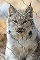 Young Lynx Looking Through Fence (15657617930).jpg