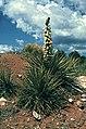Yucca baileyi ssp. intermedia fh 1208 NM B.jpg
