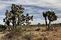 Yucca decipiens 3.jpg