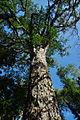 ZA-NP-gardenroute-tsitisk-bigtree.jpg