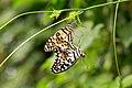ZSL London - Common lime butterflies.jpg