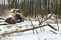 Zakole Wawerskie w Warszawie, wykroty, las olchowy zimą 002.jpg