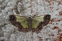 Zamarada sp. (Geometridae Ennominae Cassymini) 2.jpg