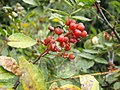 Zanthoxylum piperitum Maturity fruit.jpg