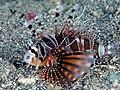 Zebra Lionfish (Dendrochirus zebra) (45552894282).jpg