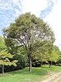 Zelkova serrata - Nagai Botanical Garden - DSC07636.JPG
